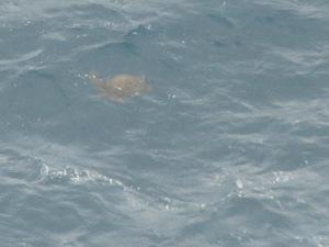 Turtle at Makapu'u Pt.